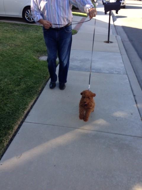 Baxter's first real walk