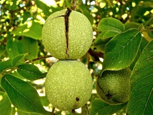 fruit-222042_640